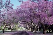 В Австралии праздник весны – «Фестиваль Жакаранды»