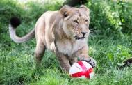 Не для слабонервных: в Лондонском зоопарке можно переночевать в клетке со львом