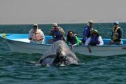 Новое увлечение туристов: поцелуи с китами
