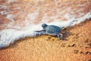 Мексика приглашает стать волонтером и помочь детенышам морских черепах